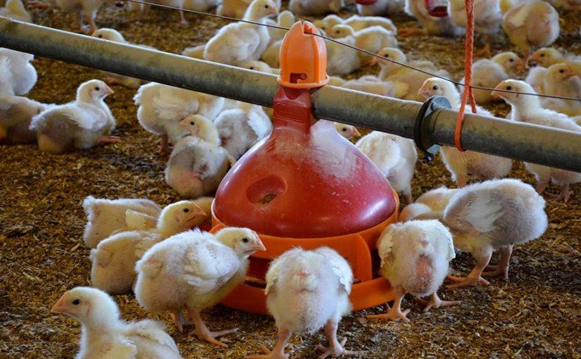 Les risques professionnels en aviculture